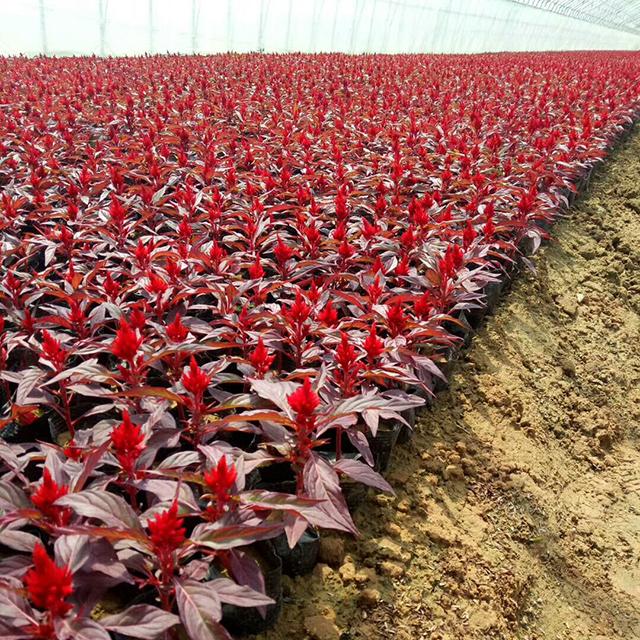 紅葉雞冠花