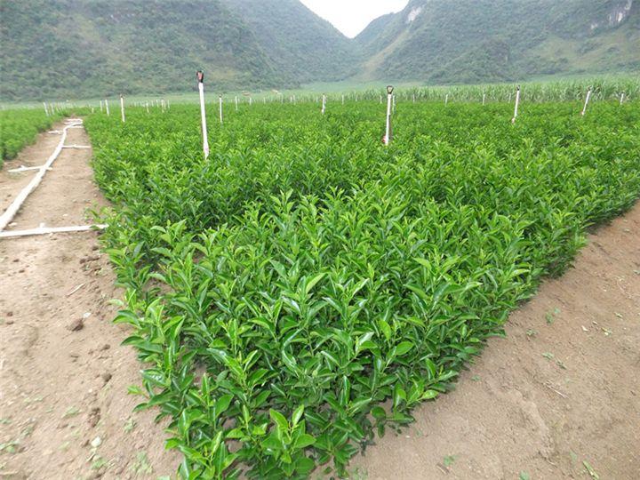 沙糖桔种苗多少钱 品种好的皇帝柑幼苗推荐