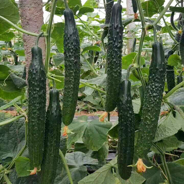 全雌黄瓜品种