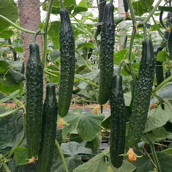 高产黄瓜品种厂家