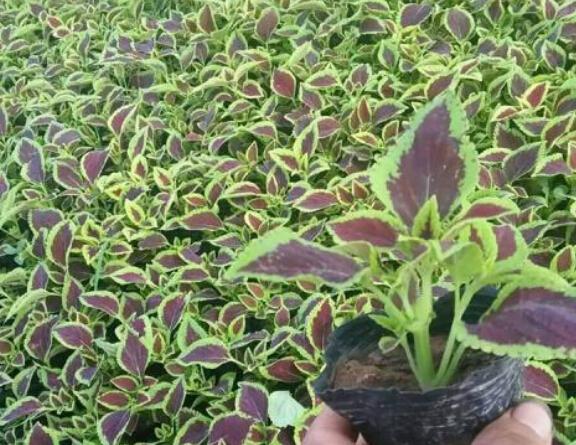 山東哪里供應的彩葉草價格優惠,出售彩葉草