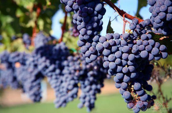 葡萄在成熟后怎样鉴成熟度