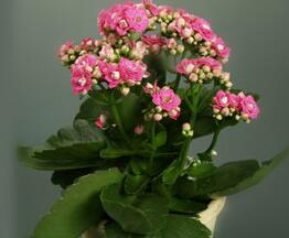 合胜花卉苗木口碑好的长寿花供应 长寿花批发商