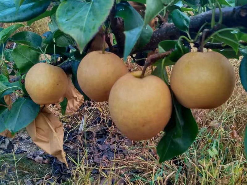 广东口碑好的水晶梨生产基地 供应水晶梨