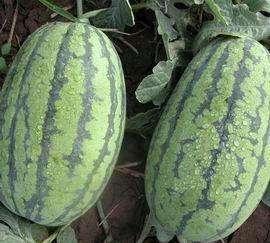 西瓜采摘讲述种植的注意事项