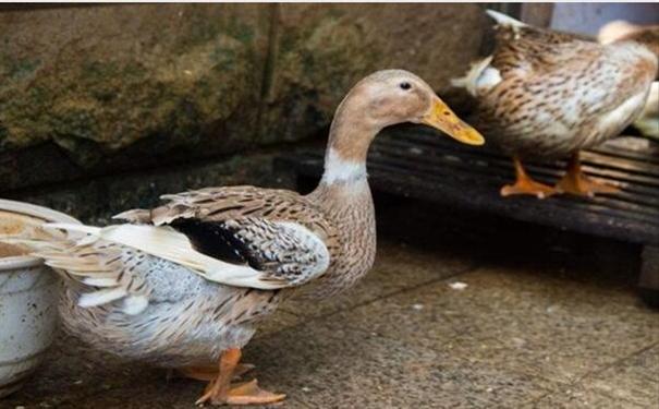肇庆麻鸭苗基地解说麻鸭和鸭子的区别以及养麻鸭注意事项