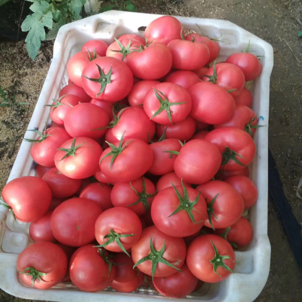 越夏西红柿品种