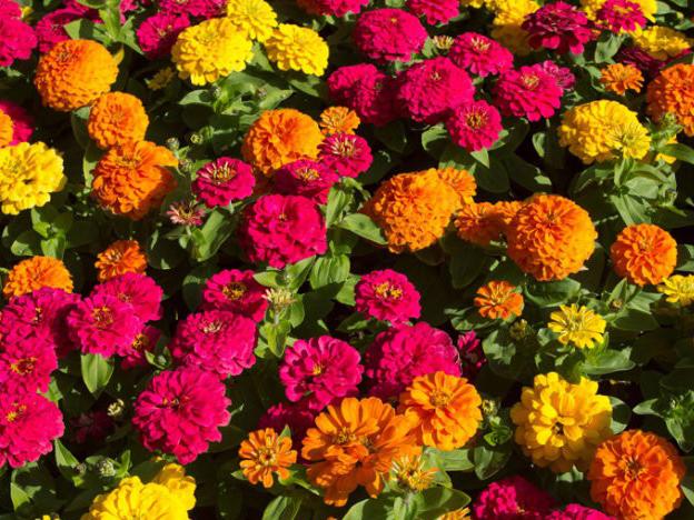 大滨菊种植