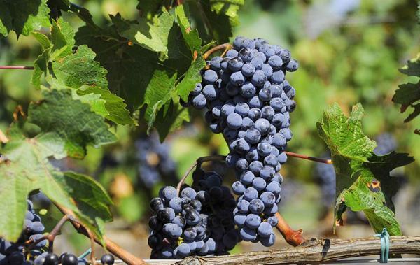 重庆葡萄采摘教你如何酿制葡萄酒