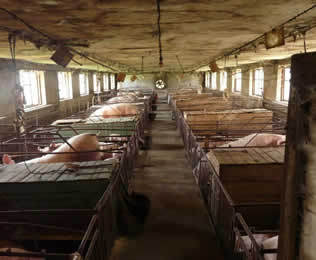 养猪场除臭剂厂家分享清除猪场臭味的重要性