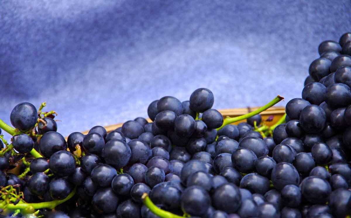 葡萄采摘葡萄籽有哪些功效