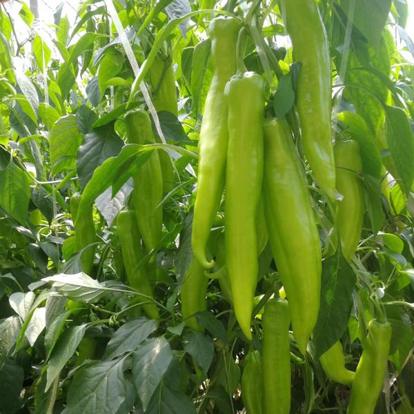 博雅农业尖椒种子品质好 广东尖椒种子