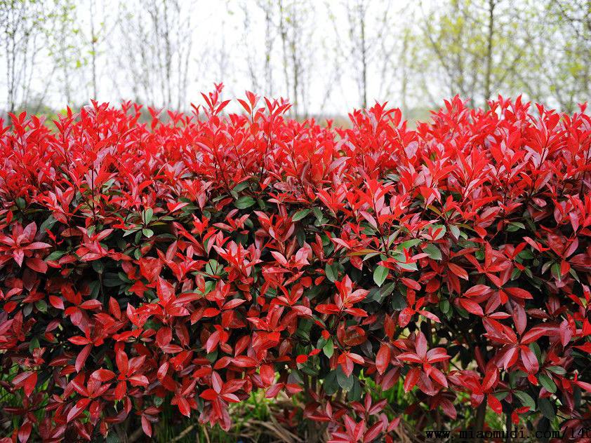 想要品种好的红叶石楠就来合胜花卉苗木-红叶石楠多少钱