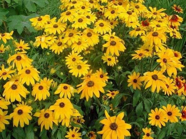 想买合格的黑心菊,就到合胜花卉苗木 -天津黑心菊