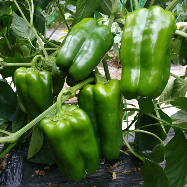 要买尖椒种子就●到博雅农业-尖椒种子