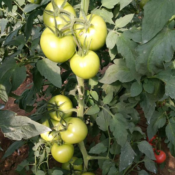 抗黄头西红柿品种裂果