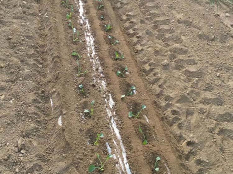 西兰花移栽机生产商,哪里能买到报价合理的西兰花移栽机