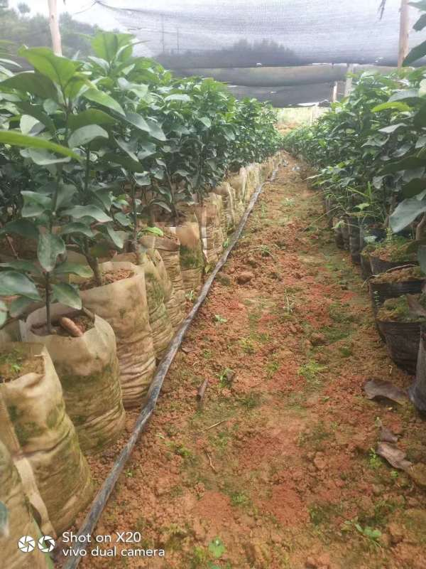 广西农产品之沙糖桔种植贴士