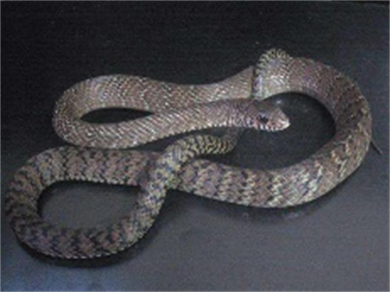 专业的蛇类防治就在桥信白蚁公司_有害生物防治