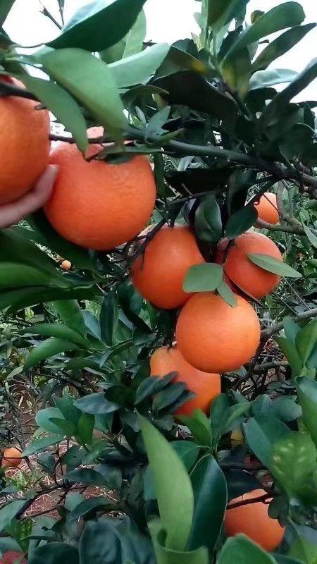 贺州富川脐橙专卖店|供应贺州性价比高的富川脐橙