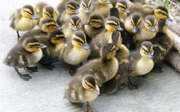鸭子网今日鸭苗价格